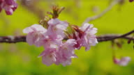 Cherry blossoms and mustard flowers