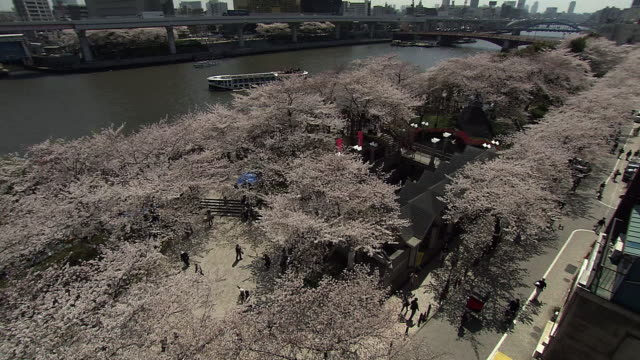 Cherry Blossoms And Skytree Along Sumida River, Japan