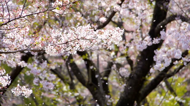 Cherry blossoms in falling petals