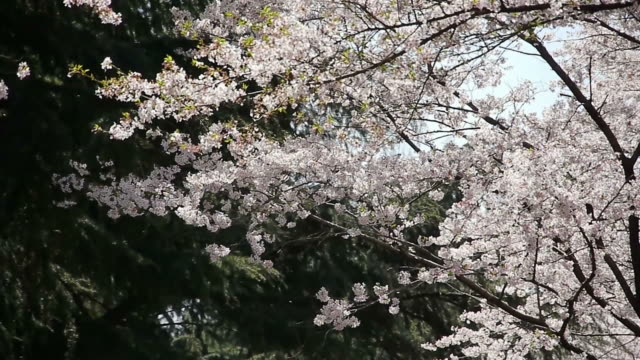 Cherry blossoms in mountain