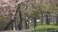Cherry Blossoms In Rain, Osaka, Japan