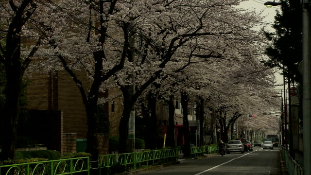MS Cherry blossoms in residential area, Meguro, Tokyo, Japan