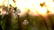 Cherry Blossoms in sunset