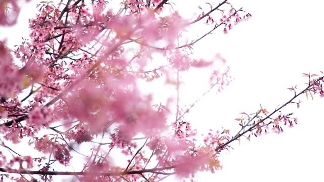 cherry blossoms or sakura flower in spring season