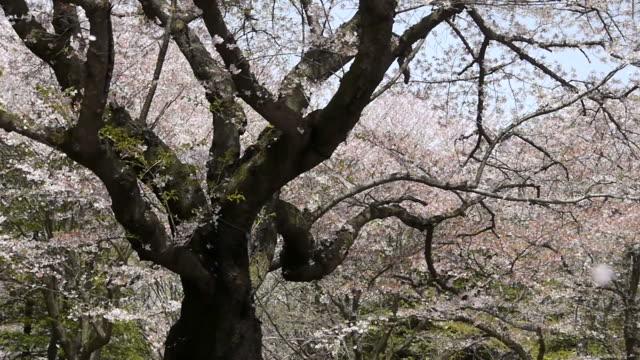 Cherry blossoms: petals fall like snow