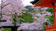 MS PAN Cherry blossoms swaying in wind at Kiyomizu Temple, Kyoto Japan