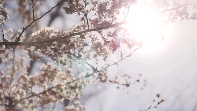 HD: Cherry Blossoms