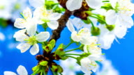 Cherry flower blooming against blue background in a time lapse movie. Prunus avium growing in moving time lapse.