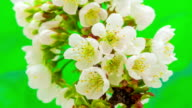 Cherry flower blooming against green background in a time lapse movie. Prunus avium growing in moving time lapse.