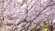 Kirsche Blume Blütenblätter fallen wie Schnee