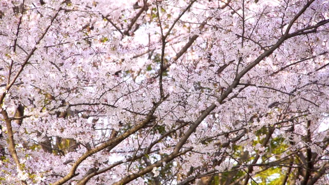 Cherry flower petals fall as if snow