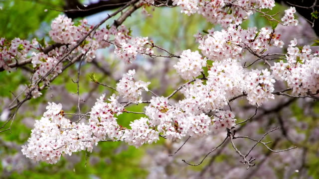 Cherry flowers and falling petals in wind