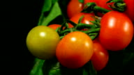 Cherry tomatoes ripenning