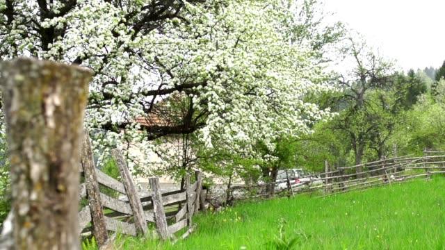 Cherry tree blossom in spring