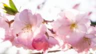 Cherry tree flower buds close-up