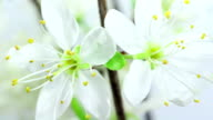 Cherry tree flowers blooming HD