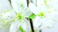 Kirschbaum Blumen erblühen HD