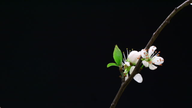 Cherry tree flowers blooming on branch HD
