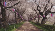 Cherry trees at river bank in Japan