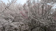 Cherry trees with white and pink blossoms in Kyoto Japan