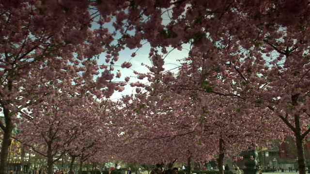 Cherry-trees in Stockholm Sweden.