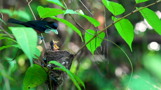 Chestnut bird arrives at nest, feeds young a bug, removes fecal sac and flies away