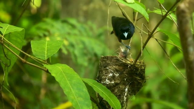Chestnut bird arrives at nest, puts bug into young bird's mouth, real time