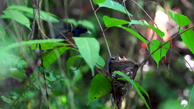 Chestnut bird arrives to feeds two young, hungry birds, high speed