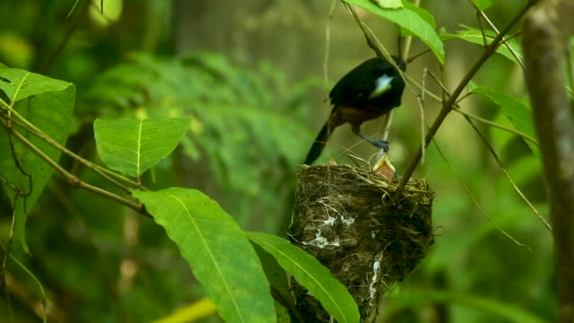 Chestnut bird feeds hungry young in nest, real time
