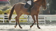 SLO MO TS Chestnut horse walking in arena with rider