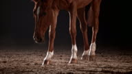 SLO MO Chestnut horse running and stopping