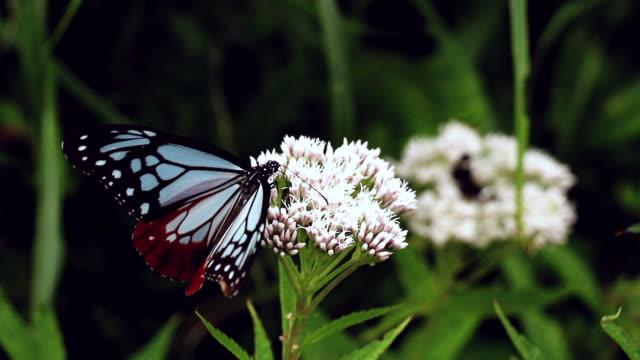 Chestnut Tiger Butterfly Feeding on Flower