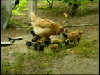 Chicken and chicks (Gallus gallus) searching for food in yard, Danube river, Romania