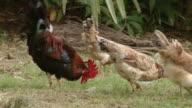 MS Chicken  / Brightown, Barbados