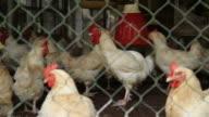 Chicken cage