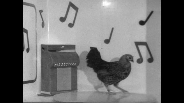 Chicken 'dancing' in a box decorated with musical notes at pet show in New York