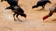 Chicken Eating Food