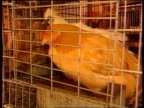 Hong Kong MS fresh meat stalls in market CS chickens in cage NIGHT i/c