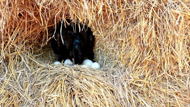 Chicken Hatching Eggs in a Nest on a Pile of Straw.