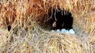 Chicken Hatching Eggs in a Nest on a Pile of Straw with Zoom out Technique