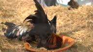 chicken or hen