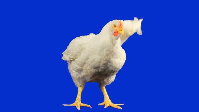 Chicken with luma matte