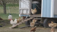 MS of chickens and roosters around chicken coop