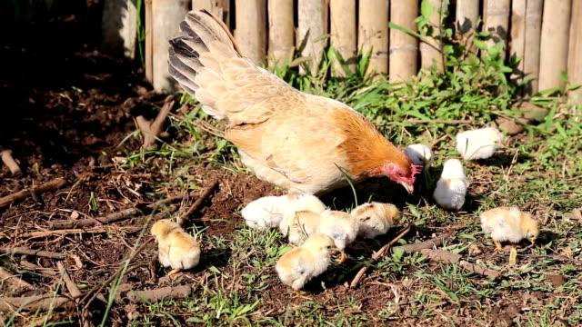 Hühner Essen