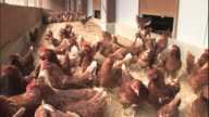 Chickens forage for food on the floor of their pen.