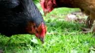Hühner Grasen auf Wiese
