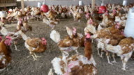 chickens in a poultry farm