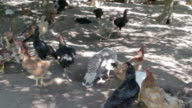 Chickens in hen house