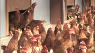 Chickens jump from coops to the floor of a pen.