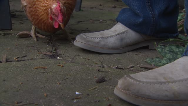 Chickens peck at the ground in the back yard of city residents Steve English and his partner Ryan Steinbach on Aug 16 2014 in Chicago